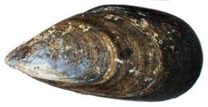 Mytilus Galloprovincialis black mussel Turkey