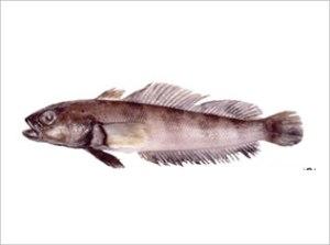 Patagonotothen Longipes Ramsayi | Nototenia