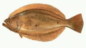 paralichthys patagonicus