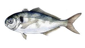 Silver Warehou/South Atlantic Bream  (Seriola Porosa)