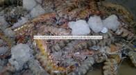 karabiga karides ihracat