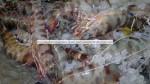 fresh flower shrimp from Senegal