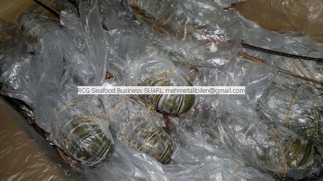 frozen rock lobstersupplier
