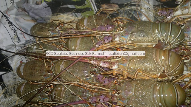 Green Lobster – Live ,Fresh or Frozen