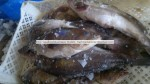 Golden Grouper Wholesale