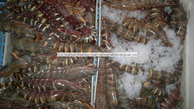 Fresh Tiger Shrimp (penaeus monodon)
