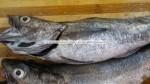 Merluccius from West Africa