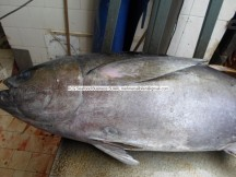fresh yellowfin Tuna
