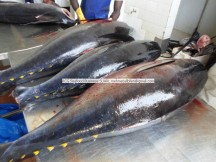 fresh chilled yellowfin tuna