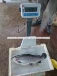 fresh,frozen salmon trout