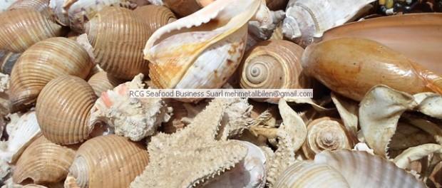 fancy dried sea shells-sea stars