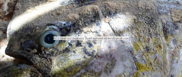 fresh Mahi Mahi (Dolphin Fish)