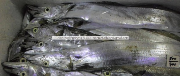 A Grade Hook Catch Ribbon Fish for Asian Martes