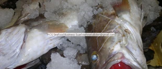 fresh white grouper