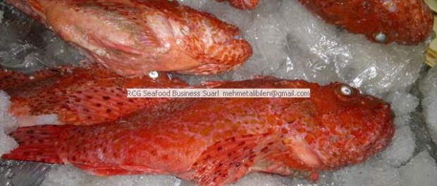 fresh ,chilled red scorpion fish