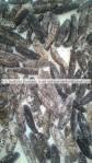 frozen thorny,frozen prickly holothuria tubulosa from Turkey