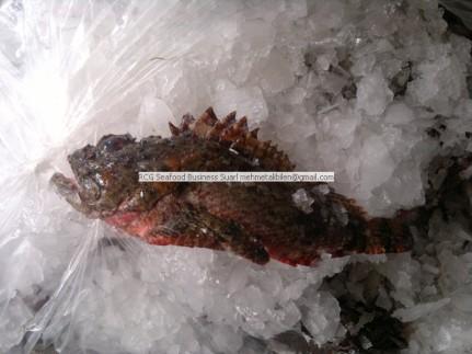 chilled scorpion fish