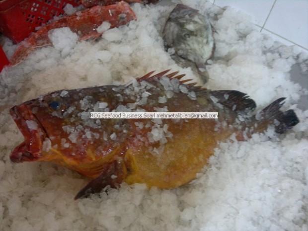 fresh yellow grouper
