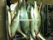 Corvina Fish Exporter