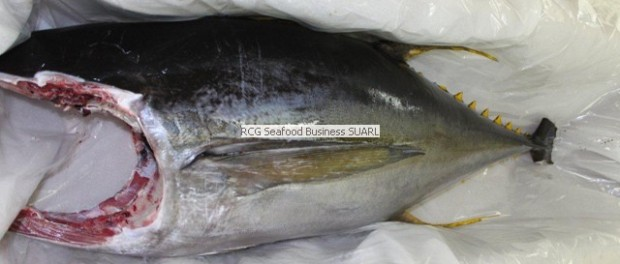 Tuna Supplier from Maldives