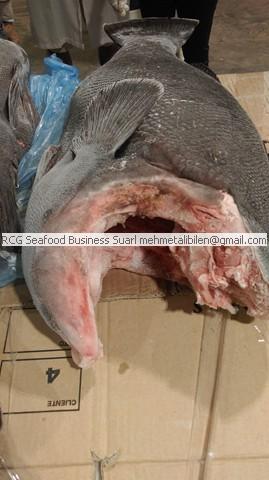 Big size black grouper