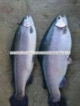 Turkish Salmon Trout