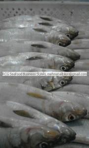 frozen sardinella aurita