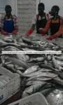 frozen hgt sardinella aurita