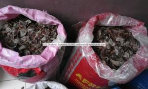Dried OPERCULUM from Senegal