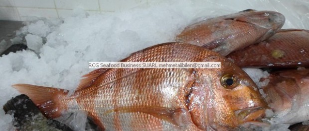rocera ,two banded red seabream