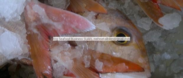 bluespotted seabream - Pargo