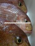 Sparus caeruleostictus - besugo