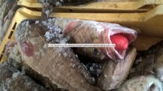 epinephelus aeneus - 青銅石斑魚 -