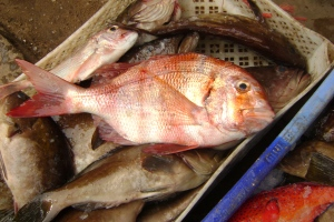 fresh,chilled red banded seabream