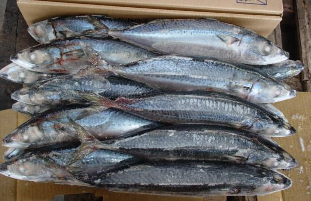 Frozen Mackerel for African Markets