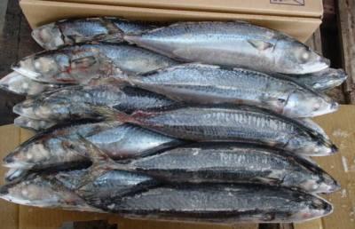 frozen mackerel from taiwan