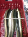 farmed eel fish