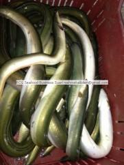 farmed fresh eel fish