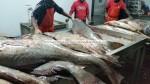 dried jew fish maws