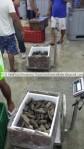 badionotus sea cucumber