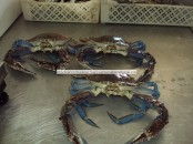 frozen blue crab from Senegal