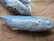 on board frozen yellowtail horse mackerel