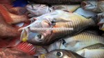 zebra tilefish - whitefish