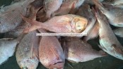 frozen on board bluespotted seabream
