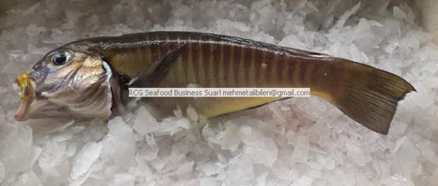 zebra tilefish